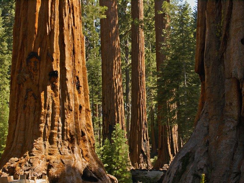 As gigantes florestas de Sequóias são um dos destaques da California. Foto: Kenneth Sponsler / Shutterstock.com